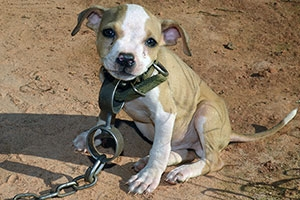 This puppy wears a chain typical of dog fighting victims.  - ASPCA